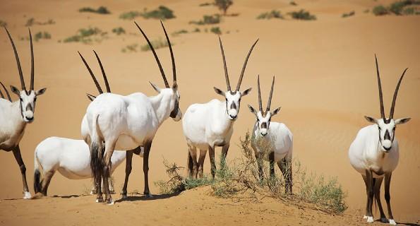 Wildlife Conservation, Dubai Desert Safari, Dubai Safari Tour