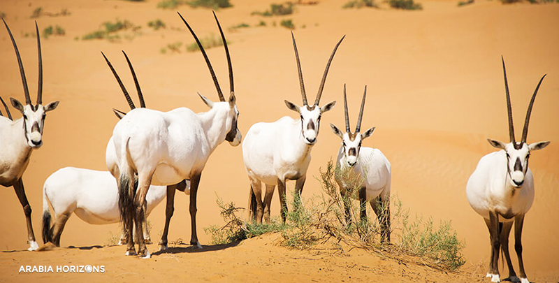 Platinum Conservation Drive in Al Maha